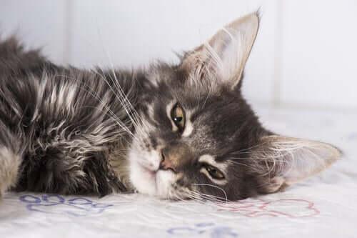 Síndromes epilépticas em felinos