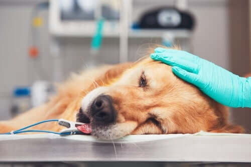 Cachorro prestes a fazer cirurgia