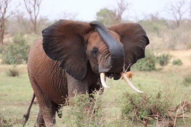 Elefante em seu habitat