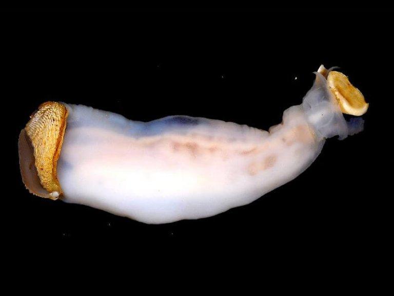 Lithoredo abatanica, o molusco que pode mudar o curso de um rio