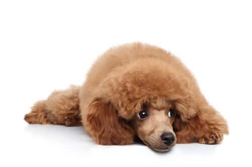 Tratamento da orquite em cães