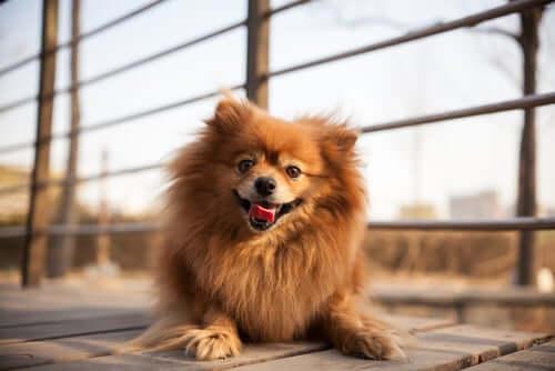 Cachorro com a língua de fora