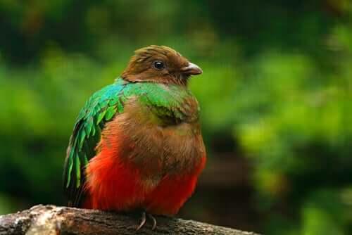 Quetzal-de-cabeça-dourada (P. auriceps)