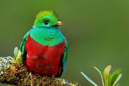Quetzal-resplandecente (P. mocinno)