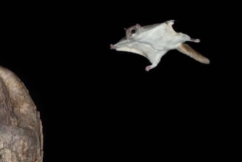 Características dos mamíferos voadores