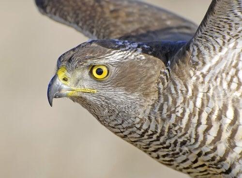 Por que a visão é o sentido mais desenvolvido em aves de rapina