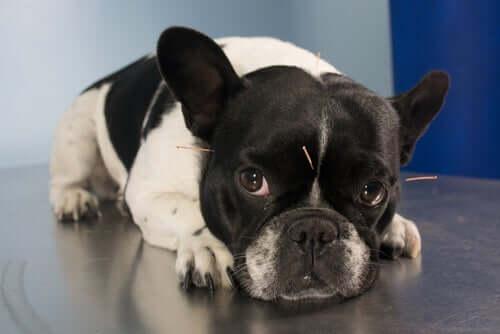 Cachorro fazendo acupuntura