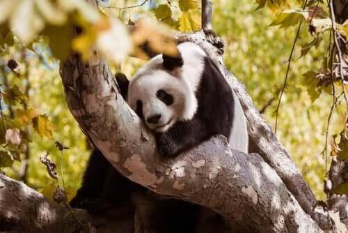 Alimentação do urso-panda