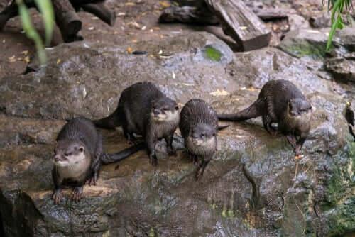 Grupo de lontras