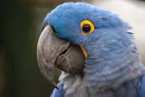 Arara-azul-de-Lear (Anodorhynchus leari): um dos tipos de arara-azul.