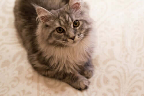 Artrose em gatos: sintomas e tratamento