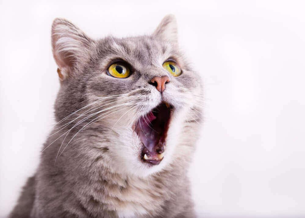 Como identificar um gato com asma felina?