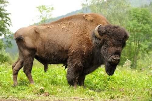 Saiba por que o bisonte-americano já foi o símbolo das Grandes Planícies
