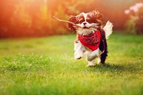 Por que jogar um pedaço de pau para o seu cachorro pode custar a vida dele