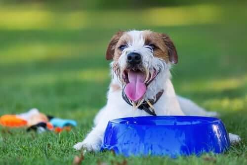 Por que os cães bebem muita água