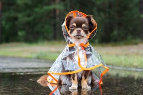 Os cães e o medo da chuva