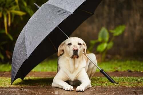 Dicas para se o cão se recusa a sair na chuva
