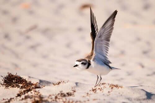 Borrelho-de-coleira-interrompida: o pássaro do ano de 2019