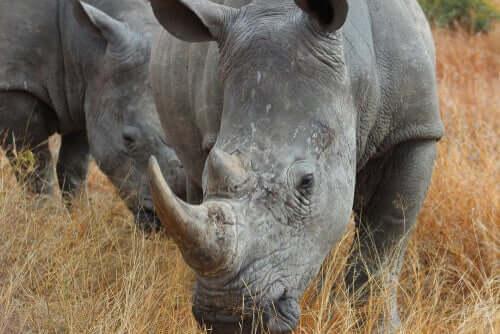 Chifre do rinoceronte: uma característica pré-histórica