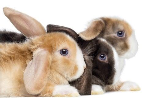 Tipos de coelho: o coelho belier