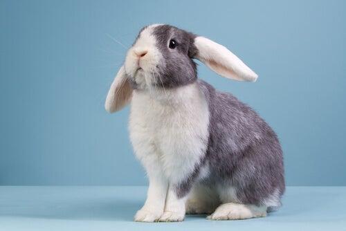 Tudo o que você precisa saber sobre o coelho belier