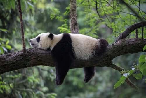 O que o panda come.