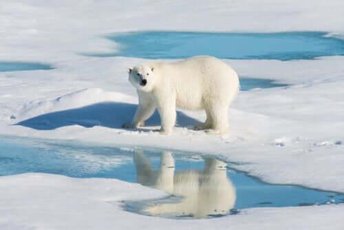 A contaminação secreta dos ursos polares