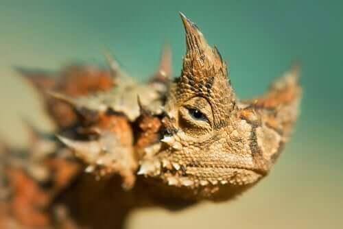 Diabo-espinhoso: informações e características