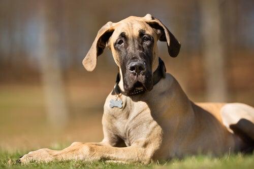 displasia de quadril em cães