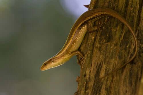 O que são os escíncidos: serpentes ou lagartos?