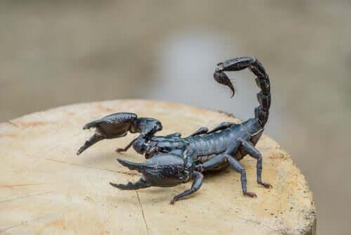 Escorpiões: um dos tipos de aracnídeos