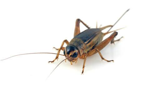 Um inseto que prefere climas quentes