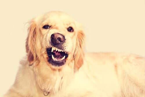 Tratamento de incômodos dentários no cão