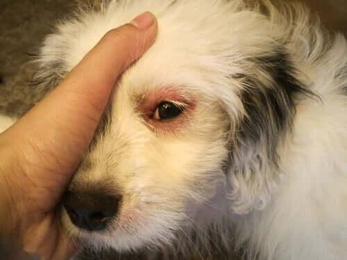 Infecções oculares em cães adultos: diferentes tratamentos