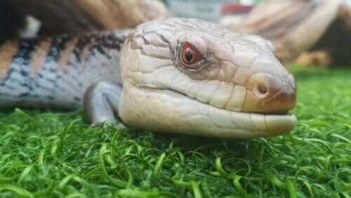 Principais diferenças entre os lagartos e as serpentes