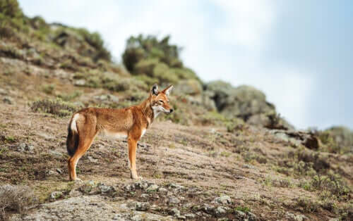 Os últimos lobos-etíopes
