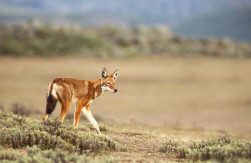 Habitat e conservação do lobo-etíope