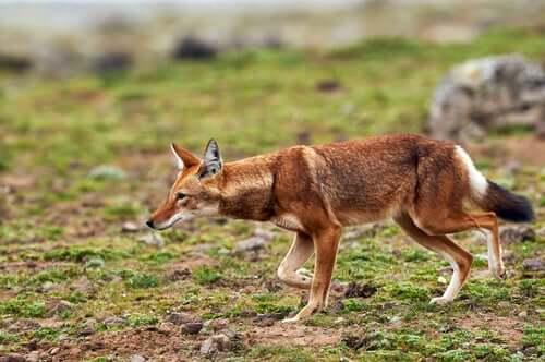 Comportamento dos lobos-etíopes