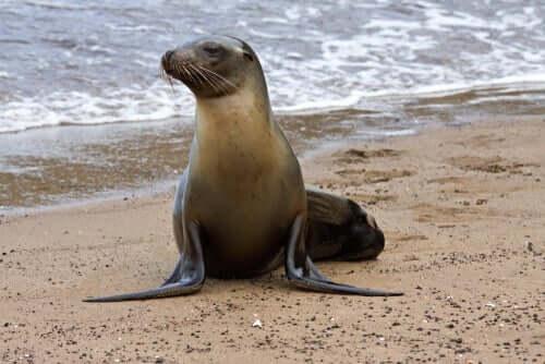 Habitat do lobo-marinho