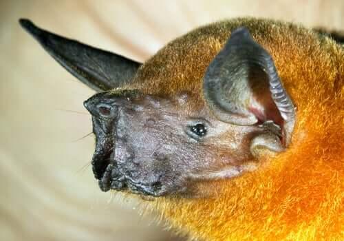 Morcego-pescador: alimentação