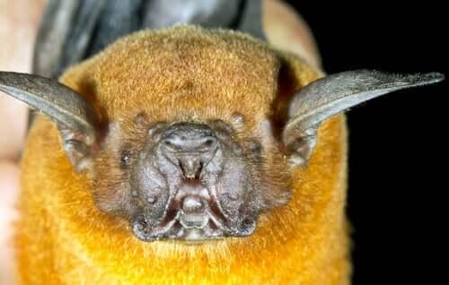 Morcego-pescador: reprodução.