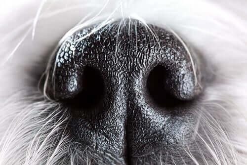 Cachorro: olfato altamente desenvolvido
