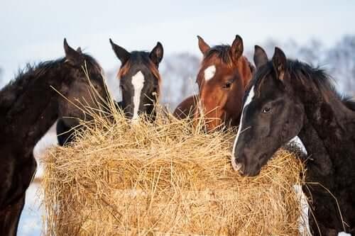 Cavalos comendo feno juntos