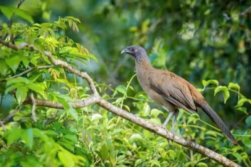 Ortalis ruficauda, uma ave dos trópicos