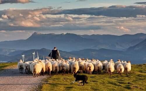 Ovinos: alimentação das ovelhas