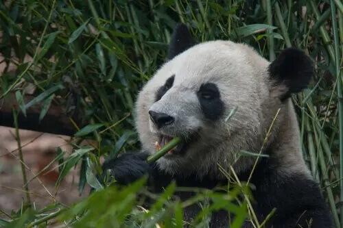 A dieta do urso-panda: muito além do bambu