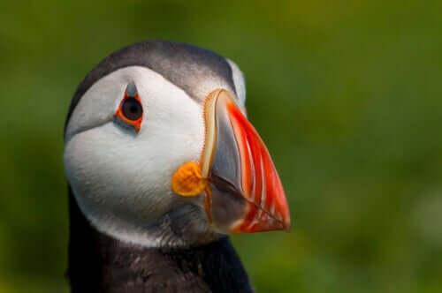 Papagaio-do-mar: características