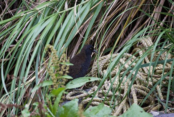 Pássaro de Atlântida