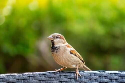 Curiosidades sobre o pardal e seu comportamento
