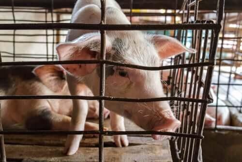 Peste suína africana: visão geral
